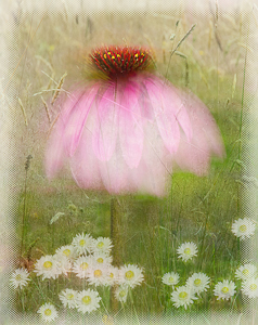 Echinacea by Margaret Penney, Set Image of the Night, Sep 2014