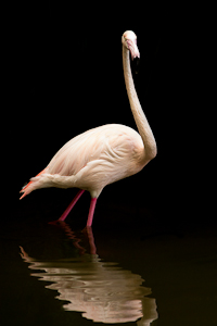 Flamingo by Debbie Flett, Open Image of the Night, Sep 2014