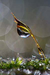 Moss Seed Pod (Sporophytes) by Roy Cernohorsky, Set Image of the Night, Mar 2015