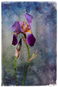 Iris by Margaret Penney, Open Image of the Night, Sep 2015