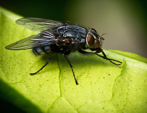 House Fly, Musca domestica by Bryan Lay Yee, Set  Image of the Night, Mar 2016