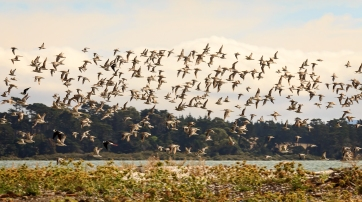 Godwits on the Coast by Allysa Carberry