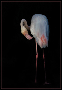 This image has an empty alt attribute; its file name is flamingo-by-lynn-fothergill-open-image-of-the-night.jpg